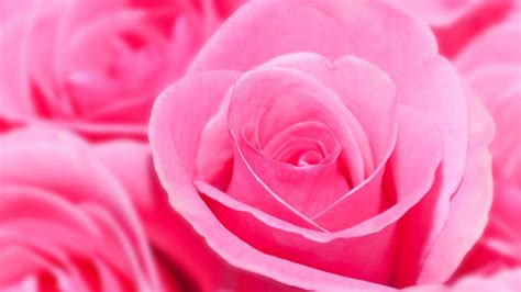 wallpaper hd pink rose pink rose hd wallpapers