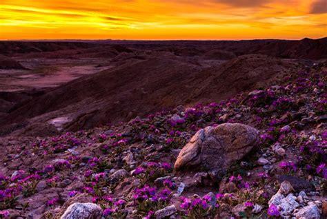 borrego super bloom california desert experiences a rare wildflower quot super