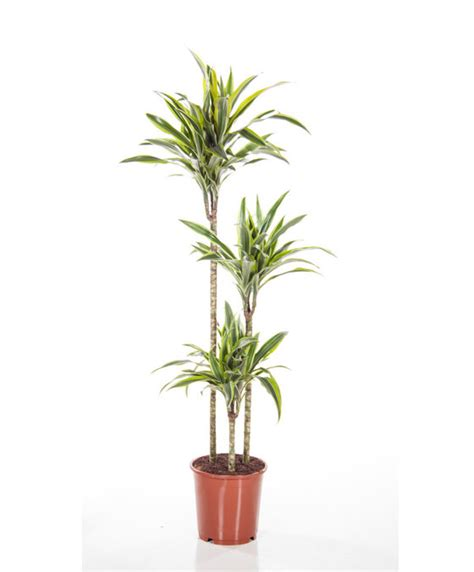 buy house plants custom 60 names and pictures of common buy house plants now dracaena 3 trunks lemon lime