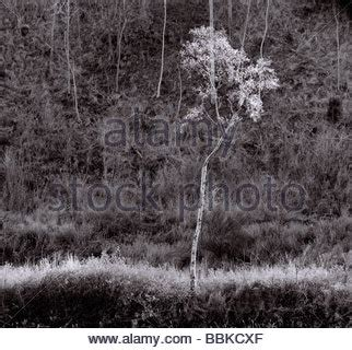 black and white landscape photograph of silver birch trees