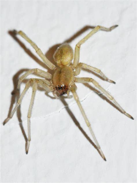 imagenes de arañas blancas ara 241 a de la familia miturgidae el desinsectador y