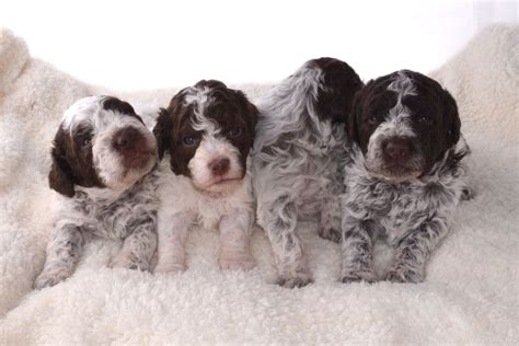 puppies on dogs for homes lagotto romagnolo puppies for sale