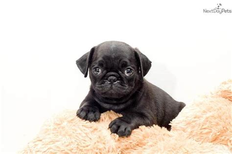 pug puppies in ohio pug puppy for sale near columbus ohio 98b88184 9541