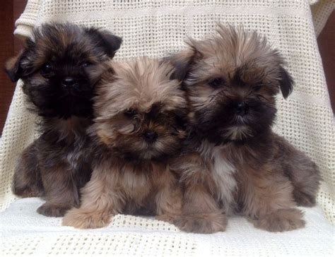 shih tzu and yorkie mix puppies yorkie x shih tzu puppies for sale llanfyllin powys