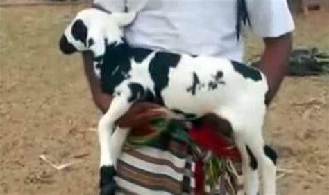 Anakan Kambing Terbaru wow kambing bertulis muhammad di tubuhnya ini dihargai 5