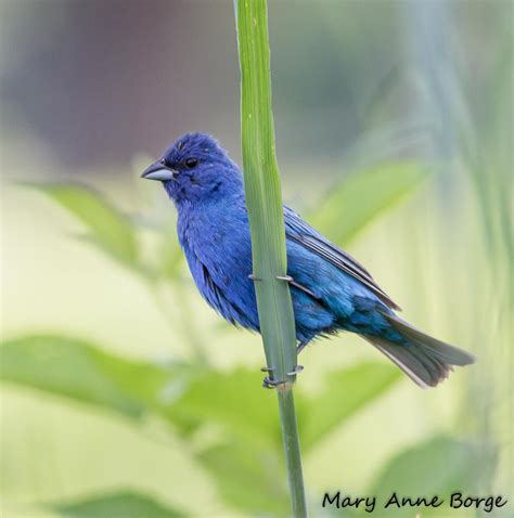 indigo buntings living on the edge the natural web