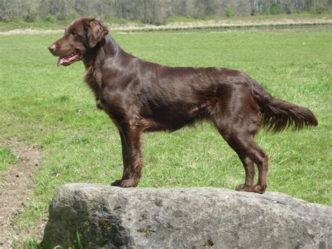 flat golden retriever 43 best flat coated retrievers images on coats flats and carnivals