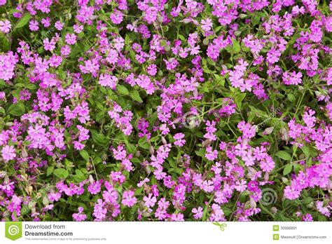 Herbal Pink Herbal Background Small Pink Flowers Stock Image