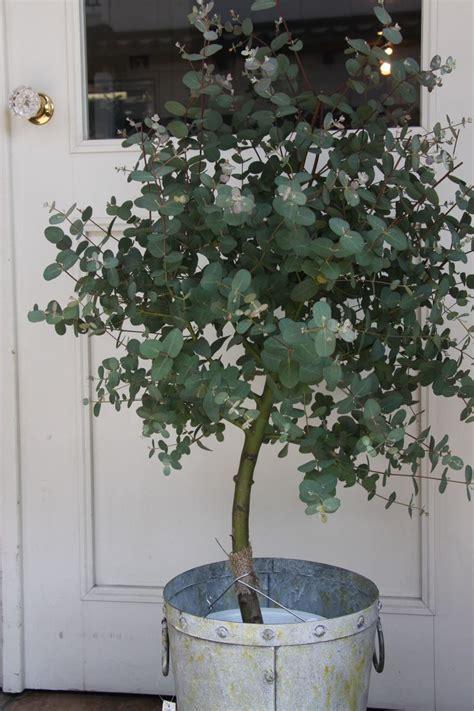 grow eucalyptus