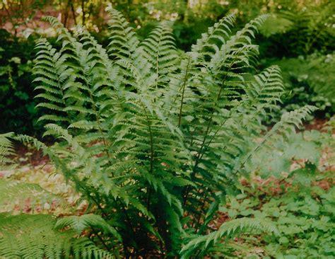 growing fiddlehead ferns garden guides