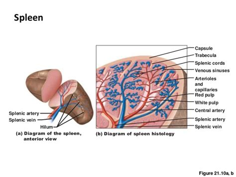 diagram of spleen ch20 21lymphatic immune system