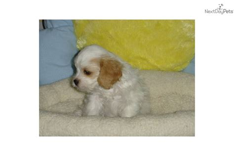 cavapoo puppies for sale ny cavapoo puppy for sale near new york city new york 399e2b32 96a1