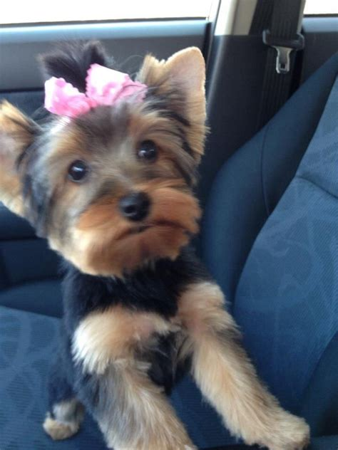9 best yorkie haircuts images on pinterest hair cut