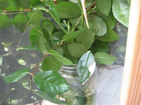 insetto stecco alimentazione lo strano caso dell insetto stecco