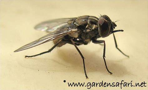 grote zwarte vliegen in huis gardensafari huisvliegen vleesvliegen en bloemenvliegen
