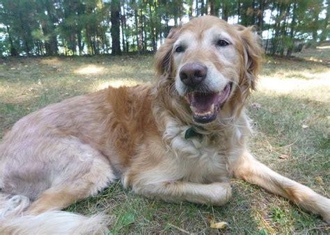 why do dogs yawn why do dogs yawn so much thatmutt a