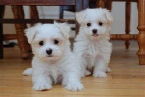teacup puppies for adoption teacup maltese rescue adoption quotes