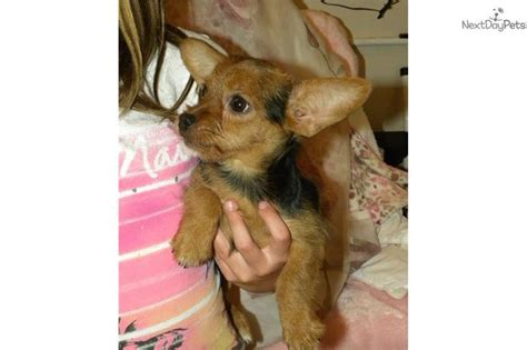puppies dayton ohio small dogs for adoption in dayton ohio breeds picture