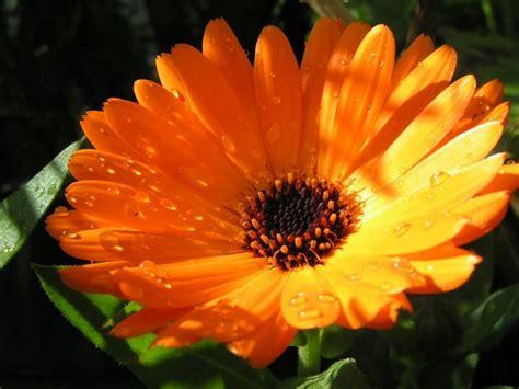 fiore calendula calendula calendula piante annuali caratteristica