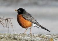 robin symbolism a message spirit animal totems