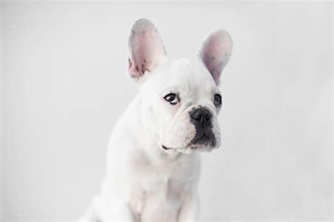 French Bulldog Giveaway - wembley the french bulldog puppy by frame your pet pretty fluffy pretty fluffy