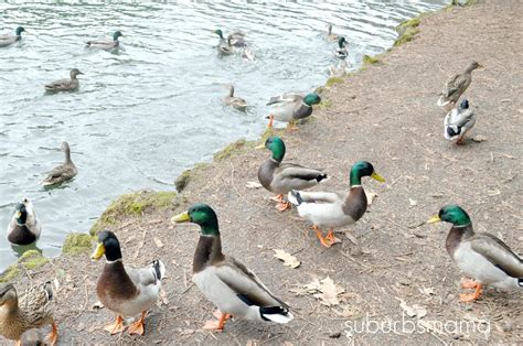 suburbs mama feeding the ducks
