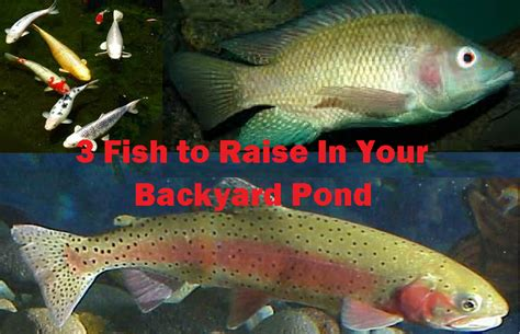 raising tilapia in your backyard backyard tilapia farming outdoor goods