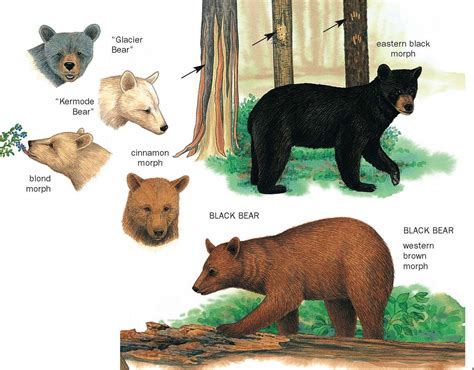 bears colors a handy guide to identifying black bears if you live in
