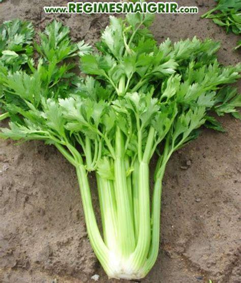comment cuisiner le celeri branche 28 images gratinons