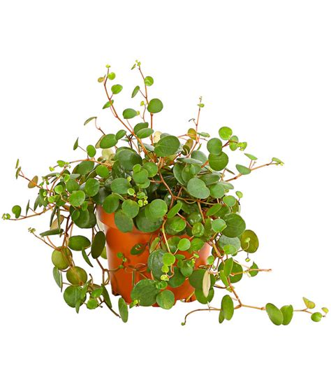 schattenpflanzen zimmer peperomie zwergpfeffer pepperspot dehner