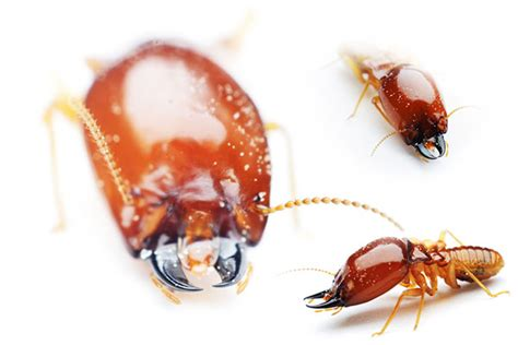 what do bed bugs eat what do termites eat terminix