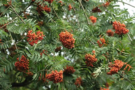 mountain ash tree with red berries elmarit 60mm 12229