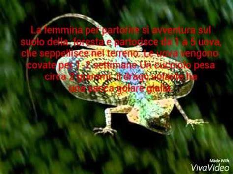drago volante il drago volante draco volans