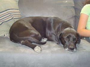 beagador puppies beagador beagle labrador mix info temperament puppies pictures