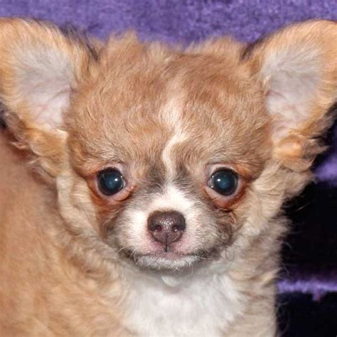 chihuahua puppies for sale florida chihuahua puppy for sale in boca raton south florida