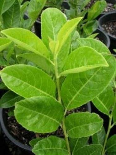 pianta di alloro in vaso alloro piante aromatiche