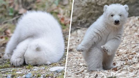 animals animals animals animal tracks this polar bear cub is the cutest thing you ll see today today com