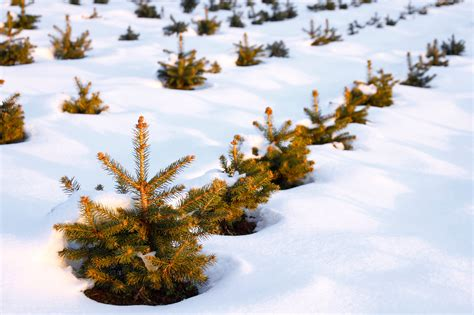 you can own your own christmas tree farm