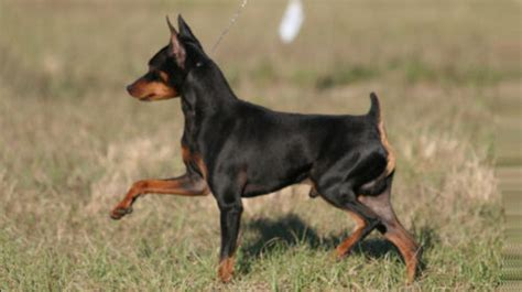 min pin breeds with black and markings pets world