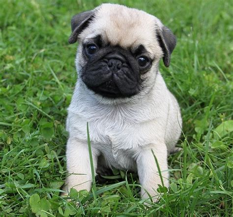 adorable pugs pug puppy pug puppies pug puppies animal and