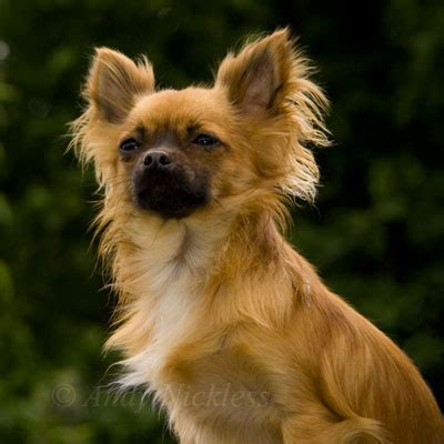 dogs that start with c breeds starting with the letter c chihuahua cavalier king breeds picture