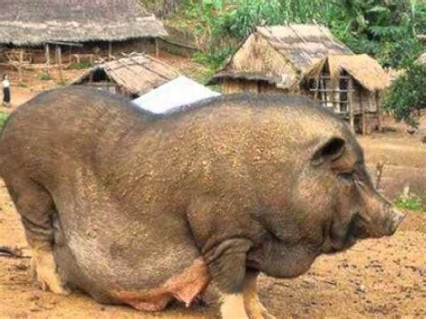 babi terbesar di dunia anjing terbesar di dunia related keywords anjing