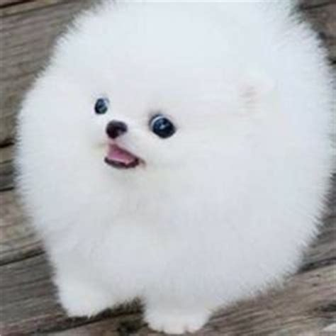 how much is a white teacup pomeranian 1000 images about white pomeranian puppy on white pomeranian