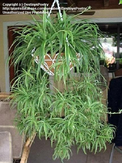 full size picture  variegated spider plant airplane