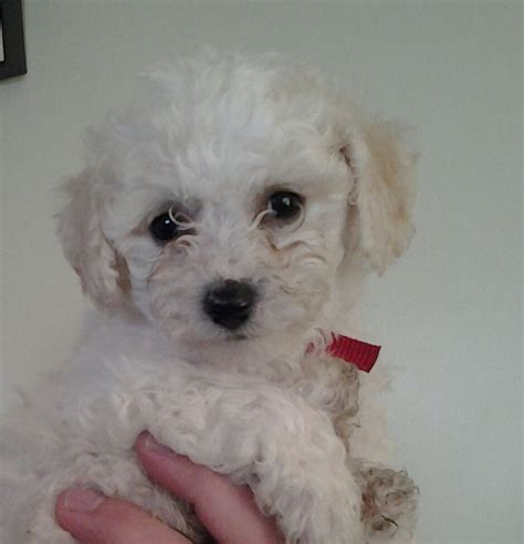 small puppies for sale small bichon frise puppies for sale mold clwyd pets4homes