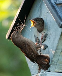 best 28 what to feed baby wrens baby wren flickr