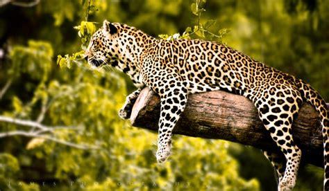 imagenes de jaguar mexicano biojunkies jaguar panthera onca