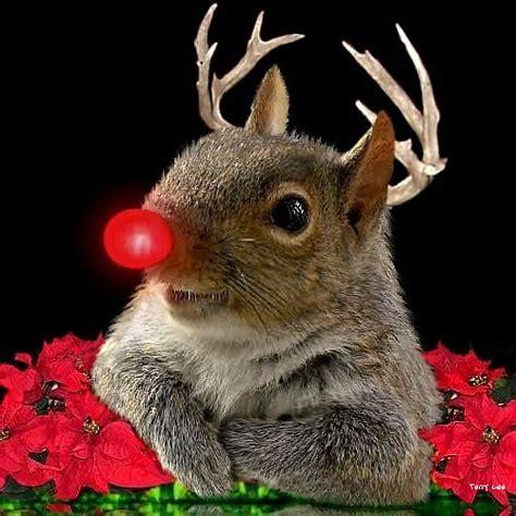 rudolf  red nosed squirrel coming   neighborhood flickr