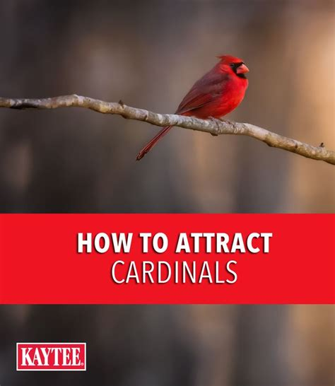 5061 best cardinals images on pinterest cardinals