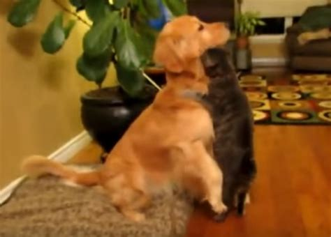how big does a golden cocker retriever get what this cat does to show his for the golden retriever will surely melt your